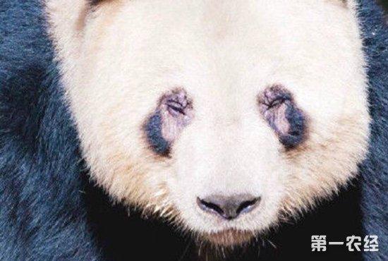 """熊猫为什么那么多螨虫眼?熊猫患病染上""""螨虫眼""""怎么治疗?"""