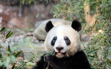 "<b>熊猫为什么那么多螨虫眼?熊猫患病染上""螨虫眼""怎么治疗?</b>"