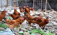 <b>养殖业:目前我国家禽养殖发展中存在的问题、挑战</b>