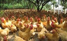 湖南省武冈市:温氏扶贫鸡,扶贫养鸡促发展