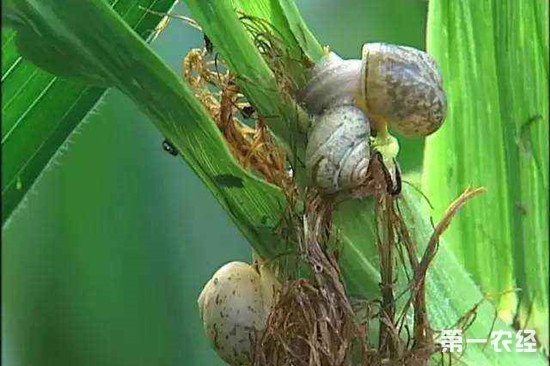 玉米上蜗牛太多怎么办?蜗牛防治方法