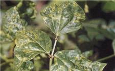 大豆病毒病用什么药?大豆病毒病防治方法