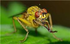 玉米螟绿色防治:赤眼蜂防治玉米螟要点介绍
