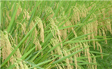 杂交水稻是转基因吗?杂交水稻是否安全