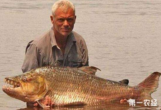 水虎鱼吃什么?敢攻击鳄鱼的巨型水虎鱼能长多大?
