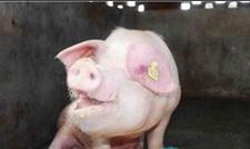 猪繁殖力下降是怎么回事?怎么防治猪繁殖障碍综合症?