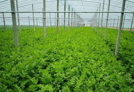 无人问津!济南崔寨上千吨芹菜严重滞销急坏种植农户