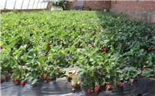 内蒙古推出草莓种植技术规程 推进草莓种植业发展