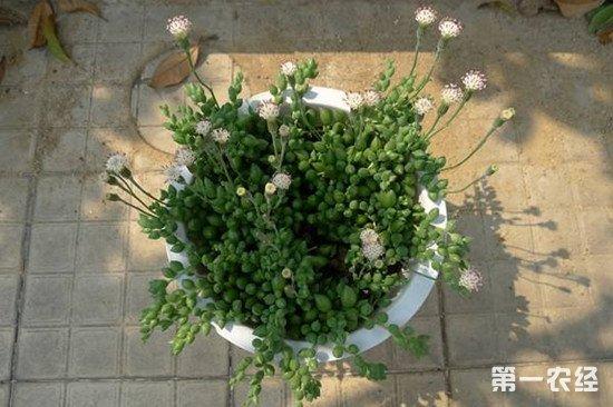 珍珠吊兰爆盆