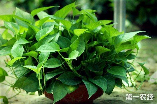 绿萝吊兰养殖方法介绍
