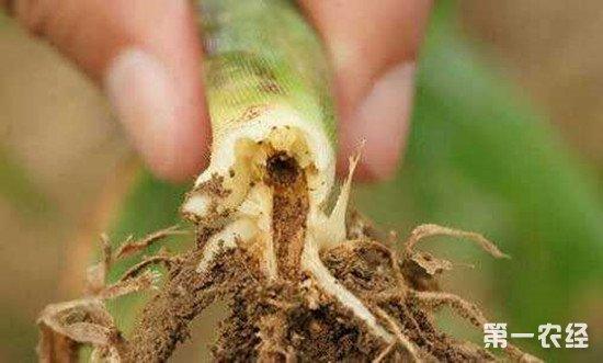地下虫害如何防治?地底害虫防治方法