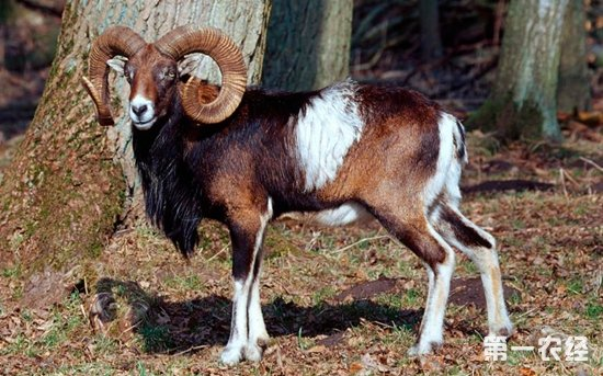盘羊是几级保护动物?盘羊有什么特别的外貌特征?