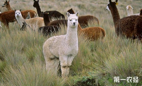 """什么是羊驼?羊驼为什么被叫做""""草泥马""""?"""