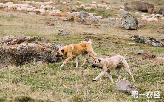 中亚牧羊犬是超大型犬吗?中亚牧羊犬打架排第几?