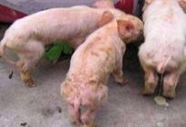 猪上吐下泻怎么办?怎么治疗猪上吐下泻
