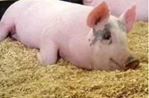 怎么治疗猪腹泻?常见猪病怎么治疗?