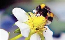 绿色种植好处多 蜜蜂解决授粉难题