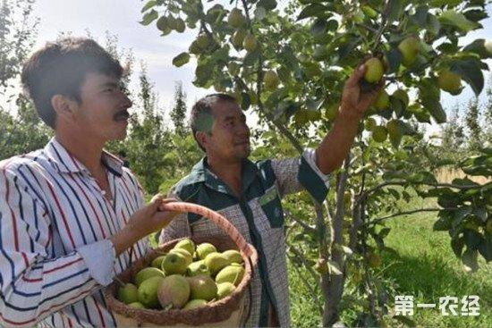 科技扶农显成效 新疆果农增收35%以上