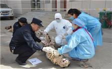 青海破获猎杀雪豹等一级保护动物大案