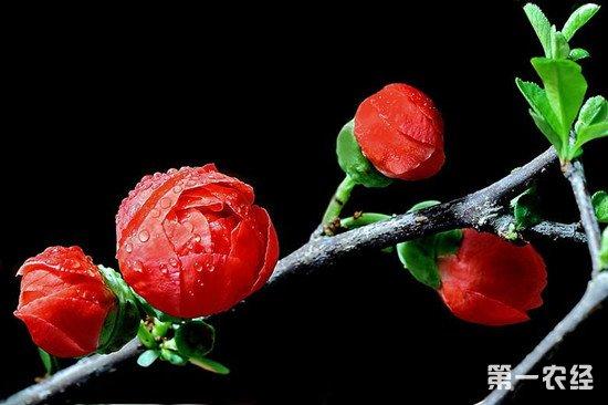 日本海棠盆栽