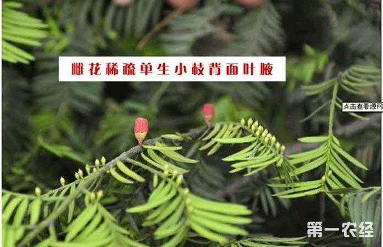 红豆杉雌株