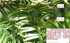 红豆杉为什么不结果?原来红豆杉也分雌雄
