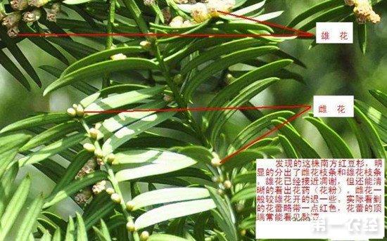 红豆杉雌雄同株
