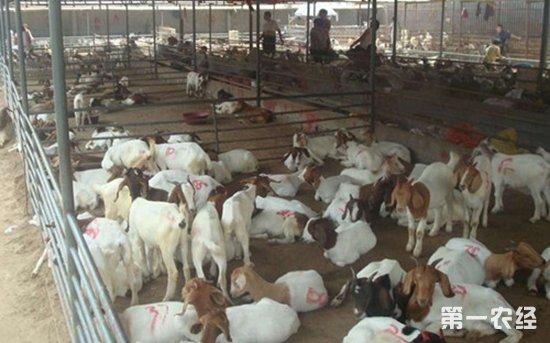 为什么圈养羊容易生病?圈养羊如何预防感染疾病?