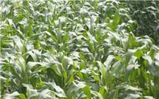 玉米生长期要注意什么?玉米生长期防灾要点