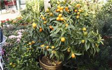 金桔树掉叶子的原因及解决方法