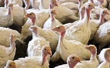 美国农业部:将下调2018年肉鸡和火鸡的产量
