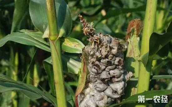 玉米瘤黑粉病的防治方法
