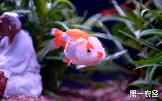 兰寿金鱼一只多少钱?兰寿金鱼价格行情