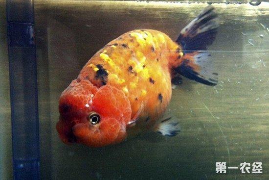 兰寿金鱼有哪些品种?兰寿金鱼品种大全(图)