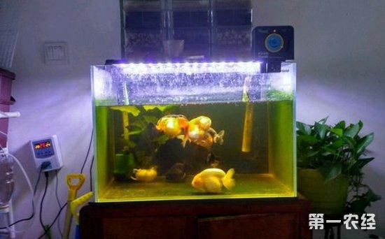 直径为60CM的鱼缸能养多少条兰寿金鱼?
