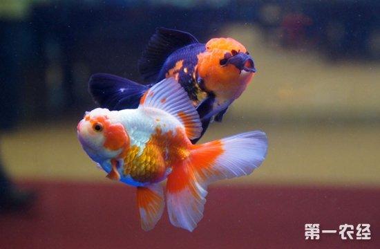 蝶尾和兰寿哪个好养?最极品的兰寿是什么颜色?