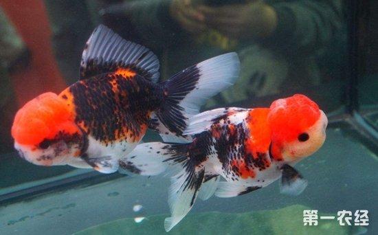 兰寿金鱼怎么分公母?兰寿金鱼公母图解