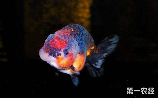 兰寿金鱼怎么养?兰寿金鱼的饲养方法与技巧