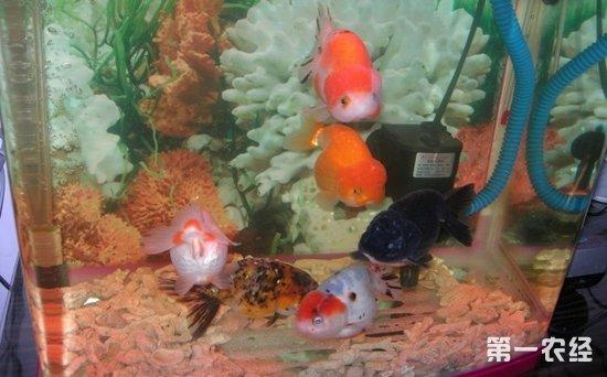兰寿金鱼怎样才算健康?兰寿金鱼健康标准检查