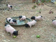 我国培育出新的微型猪品种售价上万