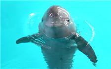 长江江豚升级为独立物种 只余千头保护刻不容缓