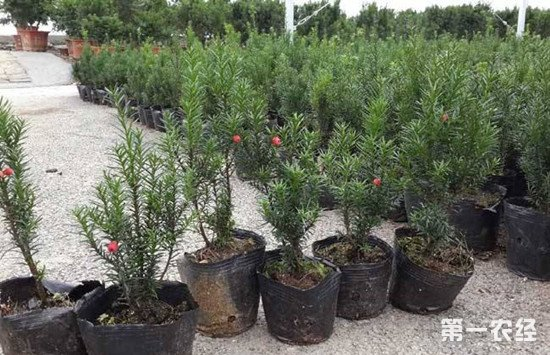 曼地亚红豆杉的养殖方法和注意事项