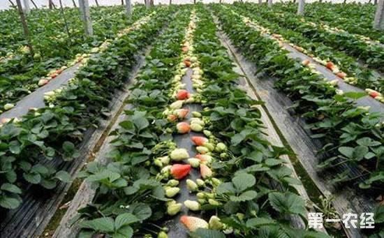 草莓要施什么肥?草莓施肥技术介绍