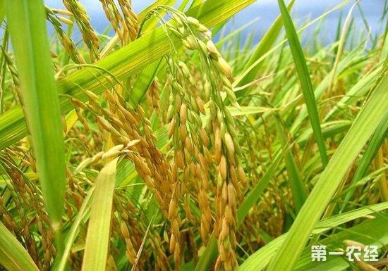硅肥对主要农作物的作用有哪些?