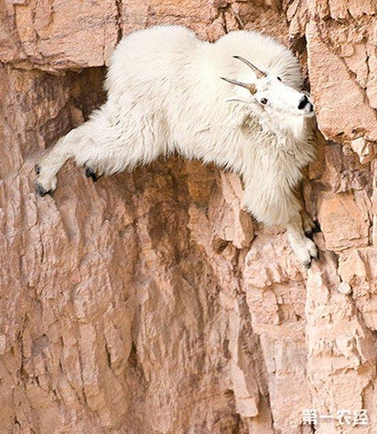 山羊为什么会攀岩?山羊爬悬崖会被摔死么?