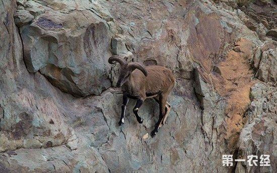 岩羊主要分布在哪些地区?岩羊能圈养吗?