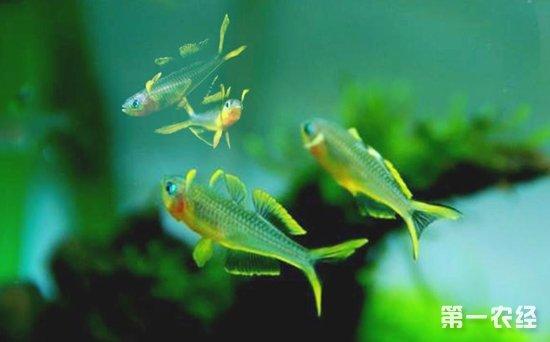 细菌和寄生虫引起的燕子鱼充血病怎么治疗?