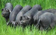 """<b>家家都有黑毛猪""""——成都特有猪品种成华猪</b>"""