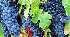 <b>饶阳县薛金扣带着群众从种蔬菜到种葡萄收益翻十几倍!</b>