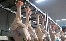 鸡肉污染引发新西兰食品安全问题 弯曲杆菌让多数新鲜鸡肉遭殃